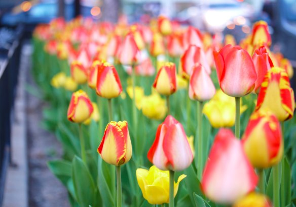 Figure 1. Tulips