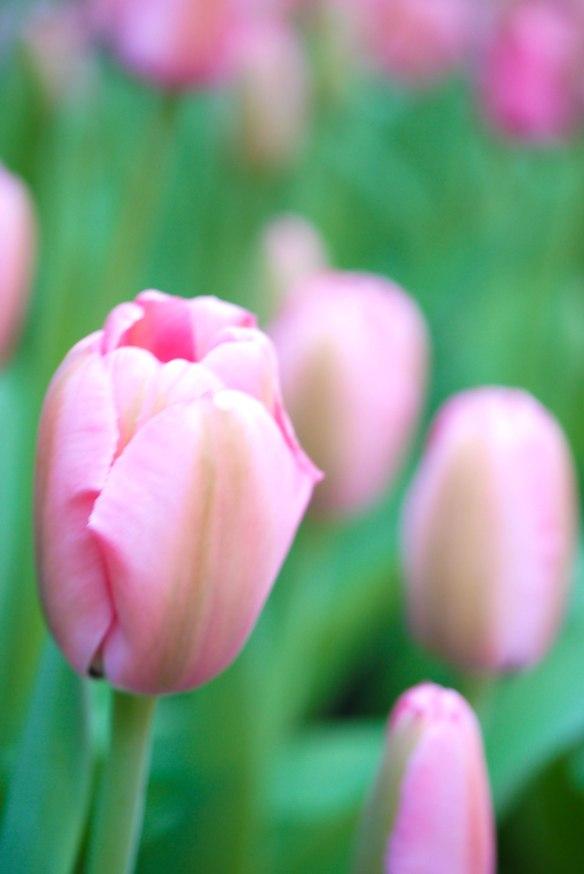 Figure 2. Tulips
