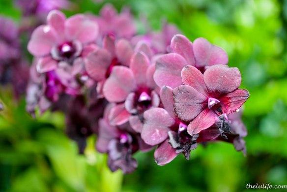 P1160811 Orchids